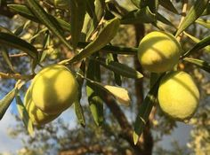 Bahçelerimizin bereketi ile yeni hasat dönemimiz devam ediyor, yeni mahsul sızma zeytinyağımız için www.yoresellezzetlerim.com