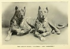 Vintage Great Danes from 1890 -- Ivanhoe and Dorothy