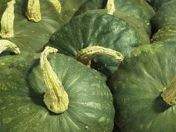 Bred by David Podoll. Squash Varieties, Organic Seeds, Zucchini, David, Gardening, Dessert, Vegetables, Lawn And Garden, Deserts