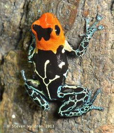 The red-headed poison frog (Ranitomeya fantastica) is a species of frog in the Dendrobatidae family. It is endemic to Peru, in the northern Loreto Region. Its natural habitat is subtropical or tropical moist lowland forests.