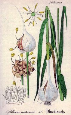 Чеснок. Ботаническая иллюстрация. #Garlic