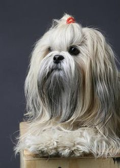 Tibetan Dog Breeds