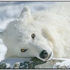 'Snow White,' by Gerry Sibell. This image of an arctic wolf was taken at the International Wolf Center in Ely, Minnesota.
