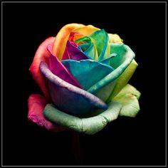We Love Rainbow Roses at Ferguson Flowers Iphone 5c Wallpaper, Retina Wallpaper, Rainbow Wallpaper, Colorful Wallpaper, Flower Wallpaper, Iphone Wallpapers, Cellphone Wallpaper, Mobile Wallpaper, Wallpaper Backgrounds