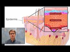 Integumentary System: In this video Paul Andersen details the important structures and functions of the integumentary system. The integumentary system includes the skin, hair and nails in humans.