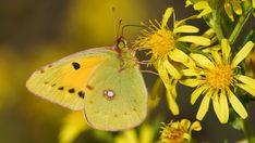 Suomen Perhoset Etelänkeltaperhonen » Suomen Perhoset Closer To Nature, Spiders, Bees, Picture Video, Moth, Creepy, Butterflies, Insects, Garden