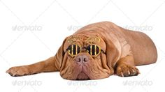 American dream. Dog with glasses with dollar sign ...  Dogue, accessory, american, animal, background, bordeaux, boss, brown, canine, currency, cute, de, dog, dollar, domestic, dreaming, expensive, expression, eyesight, eyewear, foreign, french, funny, glasses, humor, intelligence, isolated, looking, mastiff, millionaire, molosse, paw, personal, pet, portrait, pup, puppy, purebred, rich, sign, single, sleeping, spectacles, studio, sunglasses, thinking, usd, white, wrinkled, wrinkles