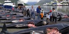 Stop the Faroe Island Whale Slaughter