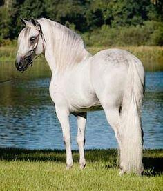 Paso Fino stallion, Profeta Segundo de Besilu. Photo by Stunning Steeds