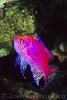 Twin-spot Basslet - male