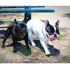 """""""Follow me Bro, and 'Act Cool' like I showed ya"""",  Big Bro with Little Bro French Bulldogs, learning the ropes ; )"""