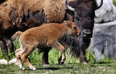 A female bison calf at Brookfield Zoo's Great Bear Wilderness exhibit. The female calf marks the first birth of this species at Brookfield Zoo since the early 1970's.