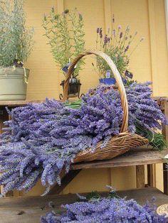 Lavanda, sencilla y memorable Lavender Cottage, French Lavender, Lavender Blue, Lavender Fields, Lavender Flowers, Purple Flowers, Beautiful Flowers, Growing Lavender, Lavender Ideas