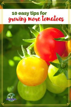 Helpful Tips for Growing More Tomatoes There's nothing quite like a homegrown tomato fresh of the vine. Growing tomatoes can be rewarding and easy with these 10 easy tips. Backyard Vegetable Gardens, Garden Soil, Edible Garden, Watering Tomatoes, Canning Tomatoes, Tips For Growing Tomatoes, Grow Tomatoes, Cherry Tomatoes, Organic Gardening
