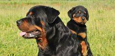 """Gericht setzt Höchstgrenze für Hundesteuer fest Rottweiler – Foto: Privat Kommunen dürfen für so genannte """"Kampfhunde"""" keine beliebig hohen Steuern erheben. Das hat das Bundesverwaltungsgericht in Leipzig am Mittwoch, den 15.10.2014 nun in dritter Instanz entschieden (Az.: BVerwG 9 C 8.13). Es sei zwar rechtmäßig, wenn die Hundesteuer für bestimmte Rassen höher ausfalle als für """"normale"""" Hunde. Aber die Steu"""