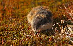 lemming, Lemmus lemmus Cgi, Carnivore, Arctic, Mammals, Animals And Pets, National Parks, Beauty, Pictures, Rodents