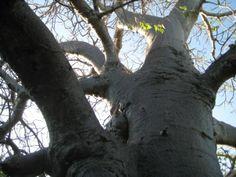 See 2 photos from 6 visitors to Takwa Ruins Manda Island Lamu. Baobab Tree, Day Trip, Kenya, Cement, Jamaica, Beautiful Places, Coast, Trees, Journey