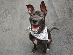 TO BE DESTROYED SUN. 10/19/14 Manhattan Center   My name is BANDIT. My Animal ID # is A1016799. I am a male black labrador retr mix. The shelter thinks I am about 9 MONTHS old.  I came in the shelter as a STRAY on 10/08/2014 from NY 10455, owner surrender reason stated was LLORDPRIVA.