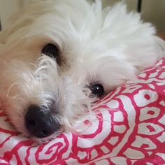 #Cotondetulear #happydog