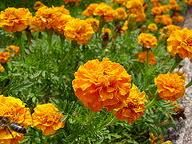 Afrikaantjes Orange Flowers, Marigold, Plants, Garden, Growing, Calendula, Growing Marigolds, Planters