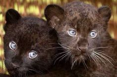 black panther cubs are shown off to the media at the Tierpark zoo in Berlin, Germany Baby Panther, Panther Cub, Black Panthers, Big Cats, Cats And Kittens, Cute Cats, Baby Kittens, Black Panther Animal Facts, Beautiful Cats