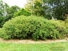 Rhus aromatica - Fragrant Sumac - 5-6' x 8-10'; thicket-forming; orange, red and yellow fall color, red berries attract birds