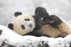 Panda, winter is coming.