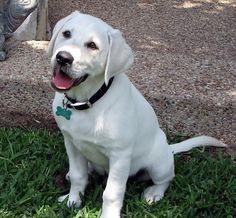 White labrador puppies pinterest white lab labs and texas