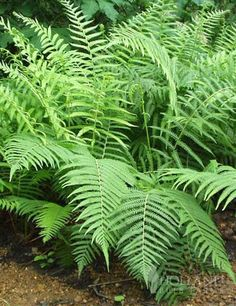 Lady Fern- Truly durable and versatile it grows well in shady locations but is also one of the most sun tolerant fern and some say it even thrives in the sun! #DreamSpringGarden