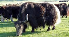 Voyage Vie Nomade en Mongolie - http://www.rando-cheval-mongolie.com/voyages/vie-nomade/mongolie-vie-nomade-famille-orkhon.html
