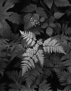 Leaves, Mt. Rainier by Ansel Adams.  negative painting with grey scale pens