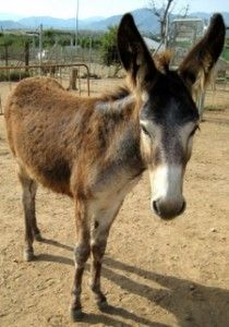 Nerja Donkey Sanctuary's David the donkey