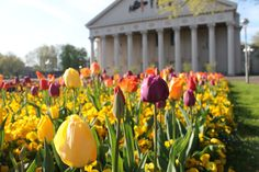 #Frühling in #Karlsruhe. #Spring at the Konzerthaus Karlsruhe! For the 300th anniversary of Karlsruhe the city planted 300.000 tulips. #travel