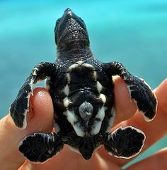Cute Baby Sea Turtle!