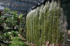Tillandsia | tillandsia usneoides et platycerium bifurcatum - Palerme : Jardin ...