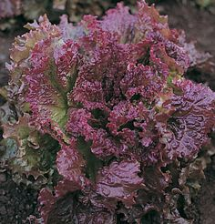 New Red Fire - It's the bog standard red supermarket lettuce, for a reason. Heat tolerant, holds well, reliable, one of the best tasting for a red, good colour. Definitely a winner.