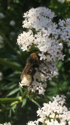 #bumblebee #valerian #englishcountrygarden #cottagegarden #bees #whiteflower #mothernature