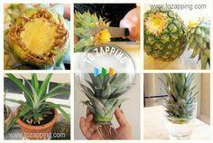 Cómo plantar una piña. Cómo plantar una piña, procedimiento.Materiales:Una piña…