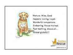 Happy #SeniorSaturday! #goldenretriever #rescuedog #adoptdontshop Rescue Dogs, Adoption, Happy, Foster Care Adoption, Ser Feliz, Being Happy
