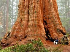 https://s-media-cache-ak0.pinimg.com/736x/1e/17/cf/1e17cfee86196775afc570f10bc64b83--sequoia-california-general-sherman.jpg