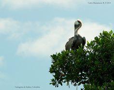 Pelícano en Mangle