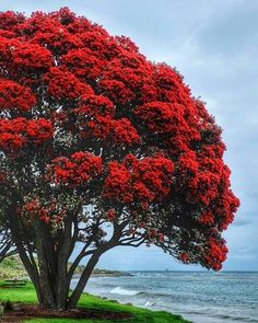 I just leave the tree decorating to mother nature. It's a pretty time of year. Unique Trees, Colorful Trees, Beautiful World, Beautiful Places, New Zealand Beach, New Zealand Houses, New Zealand Landscape, Nz Art, Kiwiana