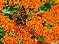 Plant Butterfly milkweed! (Asclepias tuberosa) It shows off orange blossoms from late spring throughout the entire summer.  The beautiful flowers provide nectar to all types of insect pollinators and more importantly the entire plant is a host for monarch butterflies.  Its native range is the southern and eastern United States.  I have these planted in my yard and the butterflies love it! -Ali. C
