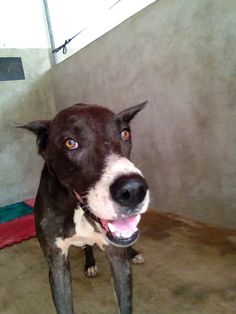 A beautiful great dane was rescued in Cancun and it's now in safe hands at Playa Animal Rescue. #Mexico