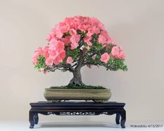This Azalea (Wakaebisu Satsuki) by Hoe Chuah was grown from a one gallon nursery plant in the ground for 7 years to develop taper and a nebari; dug up and put into bonsai pot in March 2006, and started developing the branches since then. #bonsai #盆栽 #盆景 #bonsaitree #nature