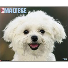 Just Maltese Wall Calendar: The Maltese has a gentle and loving spirit packed into a fluffy little body. These twelve charming photographs depict their intelligence, lovability and just plain cuteness.  $13.99  http://calendars.com/Maltese-Dog/Just-Maltese-2013-Wall-Calendar/prod201300002924/?categoryId=cat10131=cat10131#