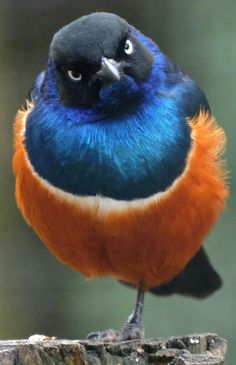 "Superb Starling (Lamprotornis superbus).      (no text))       Google search:  ""The Superb Starling (Scientific name: Lamprotornis superbus) is a member of the starling family of birds. It was formerly known as Spreo superbus. Wikipedia."""
