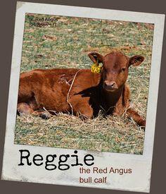 Reggie: the Red Angus bull calf...week 14!