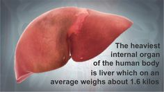 Our Did You Know series is a fun fact of the day spruced up with high quality graphics. Which is the heaviest internal organ of the human body? http://www.scientificanimations.com/did_you_know/heaviest-internal-organ/ #ScientificAnimations #DidYouKnow #ThursdayDidYouKnow #Liver