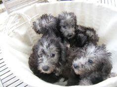 Bedlington Terrier Pet Dog 500x375